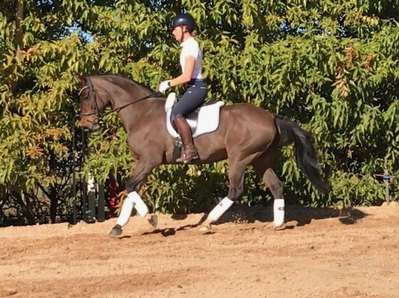 Beautiful warmblood mare