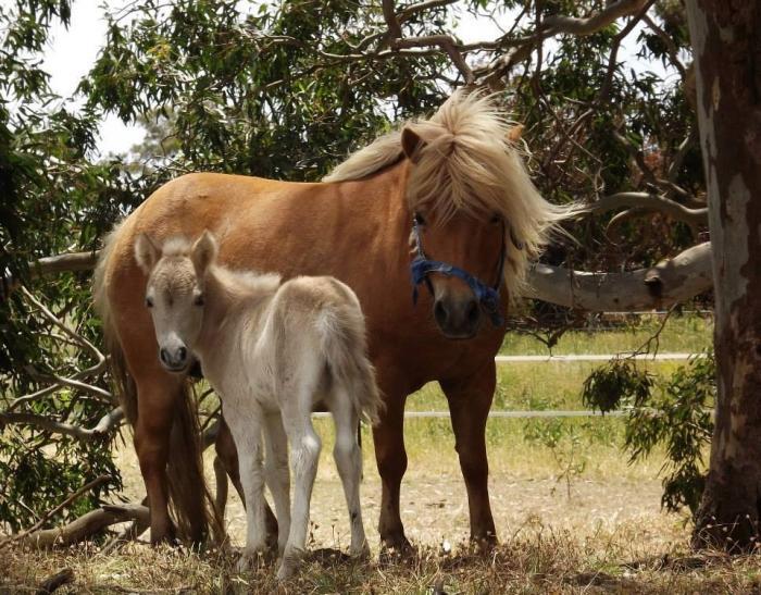 Shetland mares