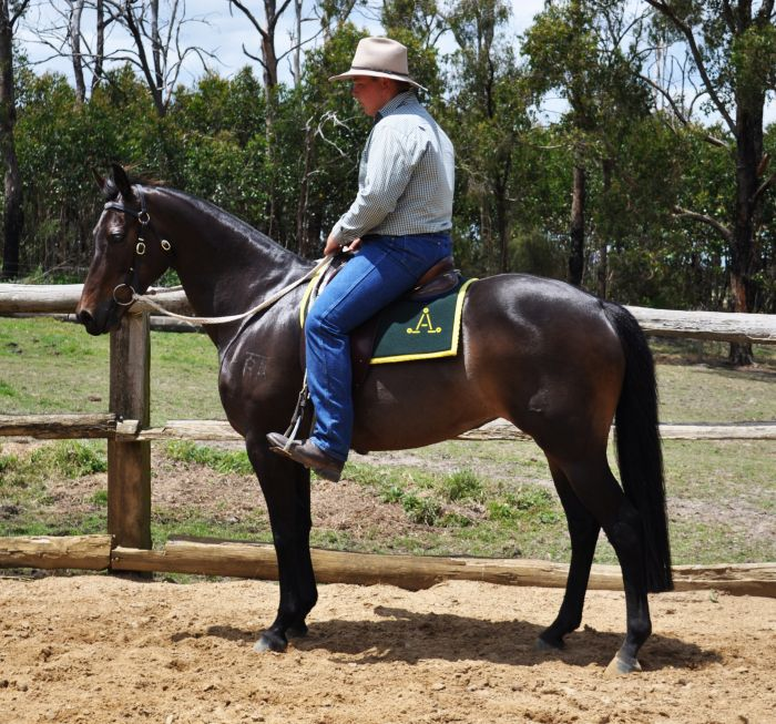 Exceptional Mare-Suit show, campdraft or breeding