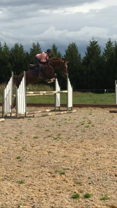 Quality Quiet Warmblood for Dressage or Jumping