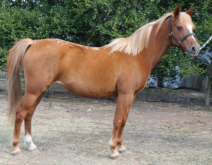 Arabian Pony Broodmare