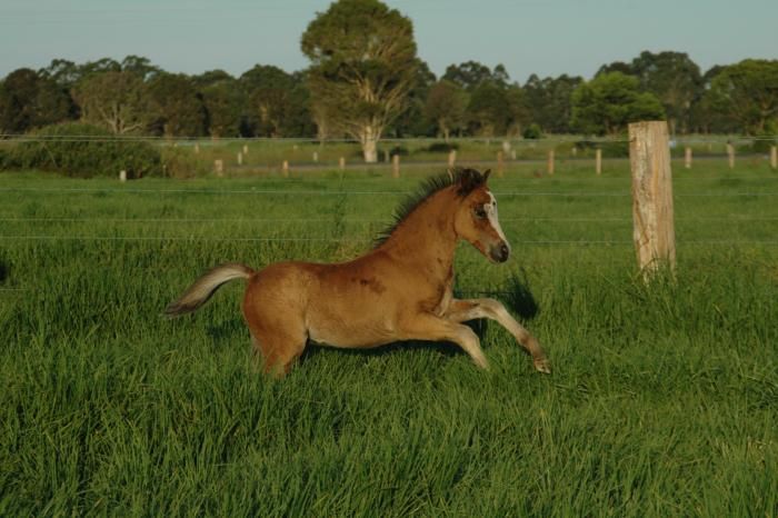 Gorgeous Welsh A Colt - Reduced