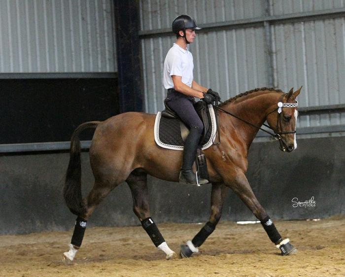 Magnificent Show/Dressage Horse