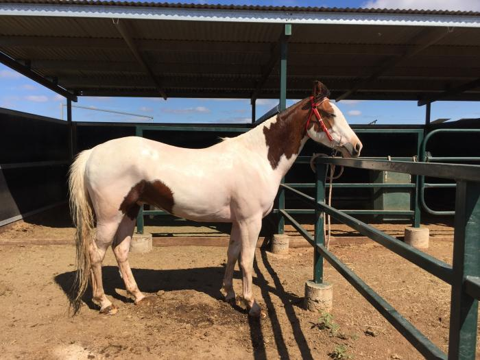 Started in feedlot, coloured gelding cowhorse