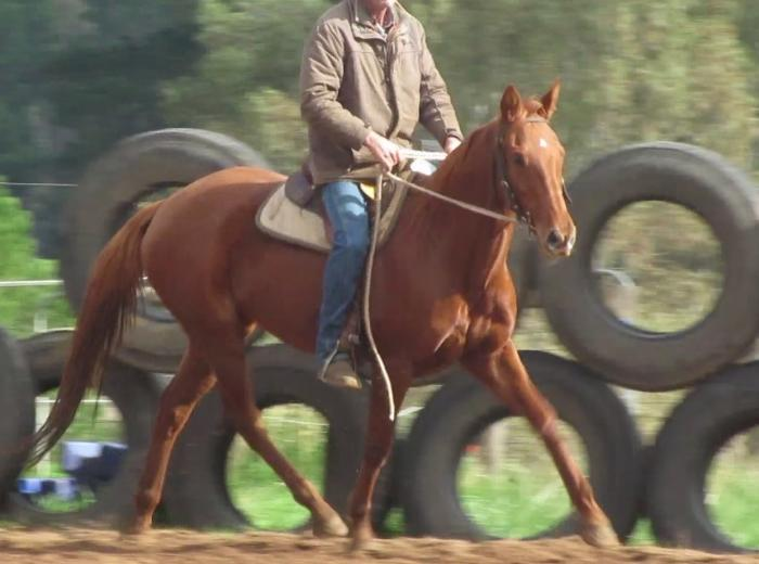 1st cross American Saddlebred Performance Prospect