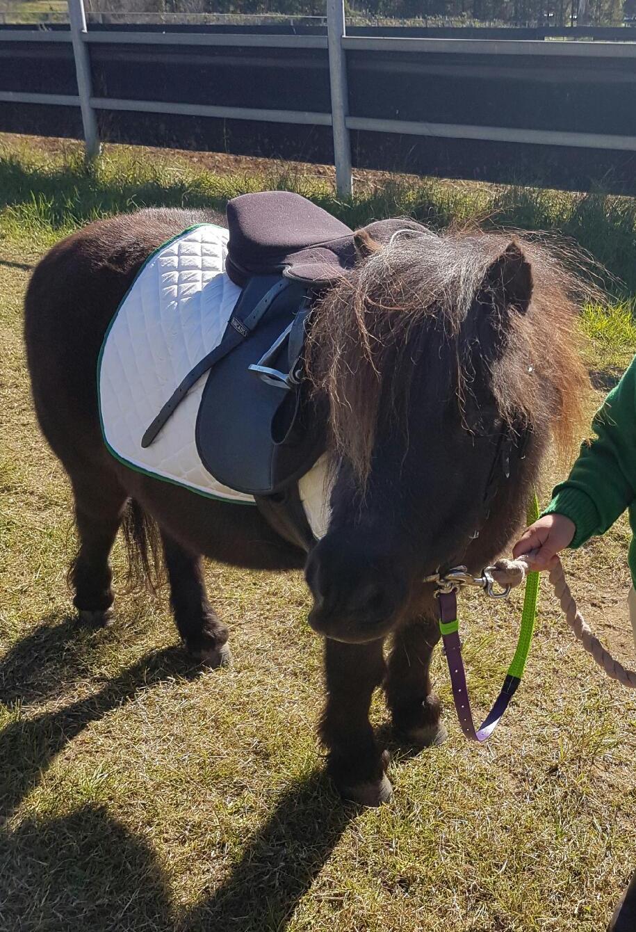 pony club 1st horse