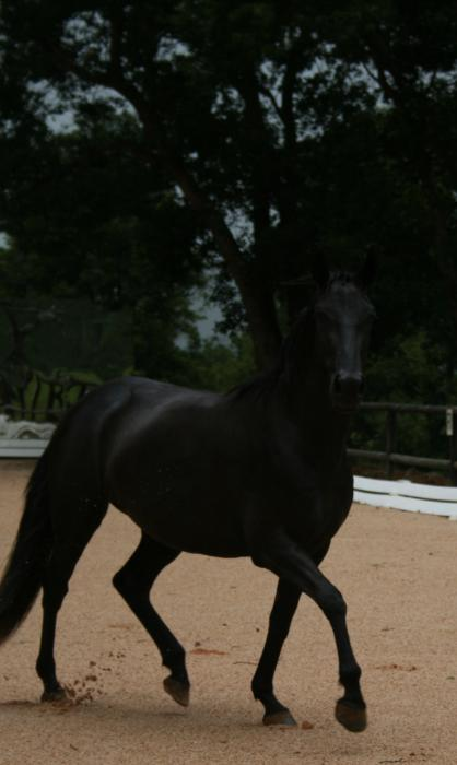 Friesian/Andalusian cross brood mare 5 years