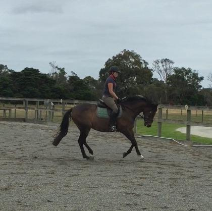 Quality Galloway Mare - ride, breed, compete!