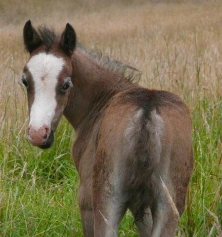 WELSH MOUNTAIN PONY COLT - FABULOUS BLOODLINES