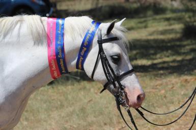 Saddle Pony Nationals