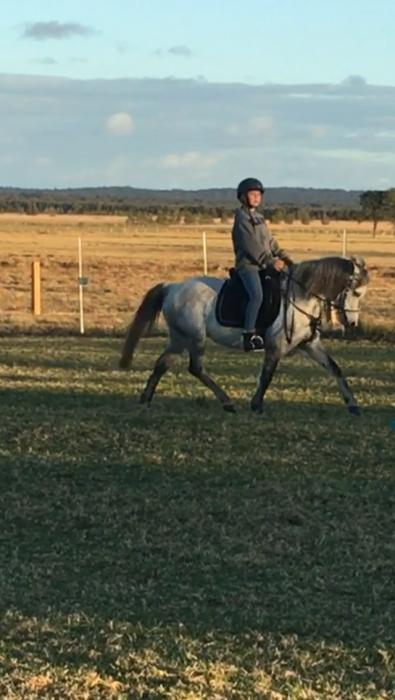 12.2h welsh A x riding pony 6 yo mare