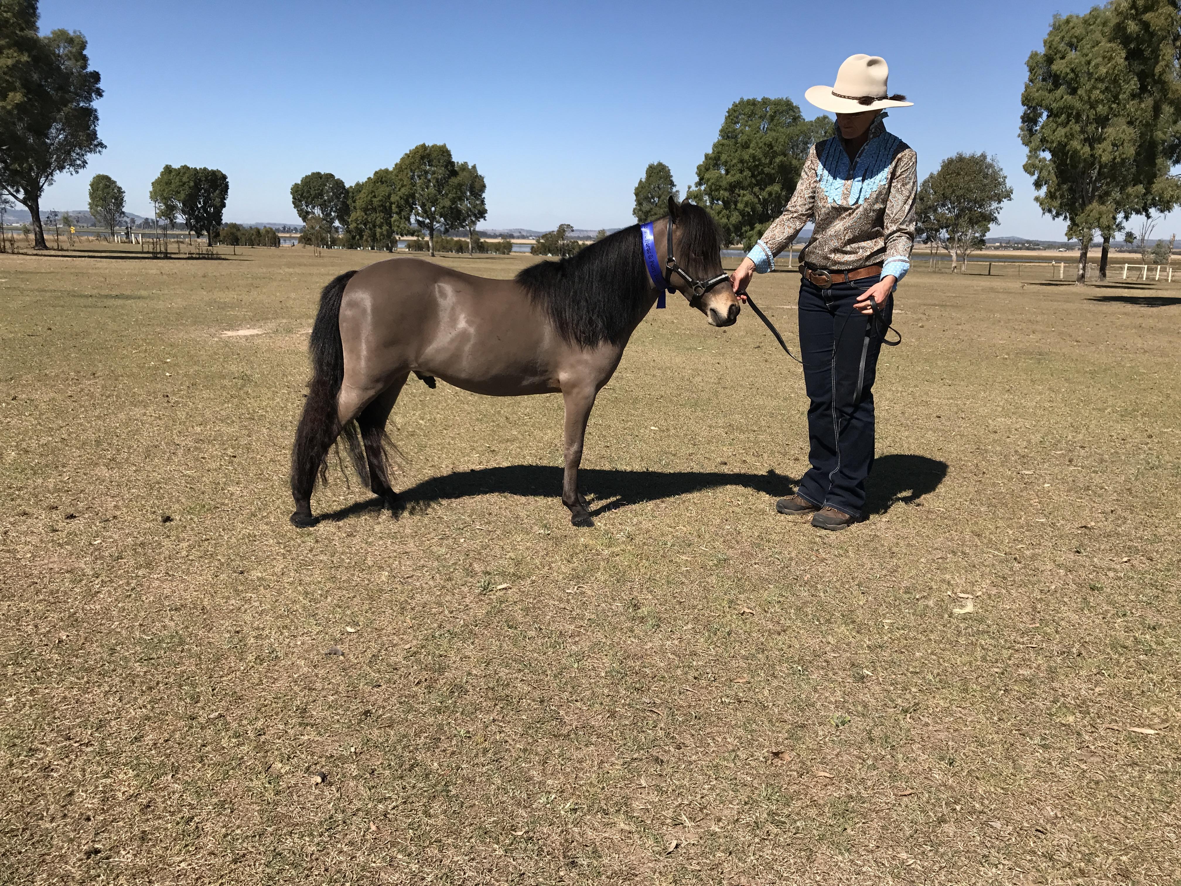 Bay 2 yo Show Small Horse Gelding