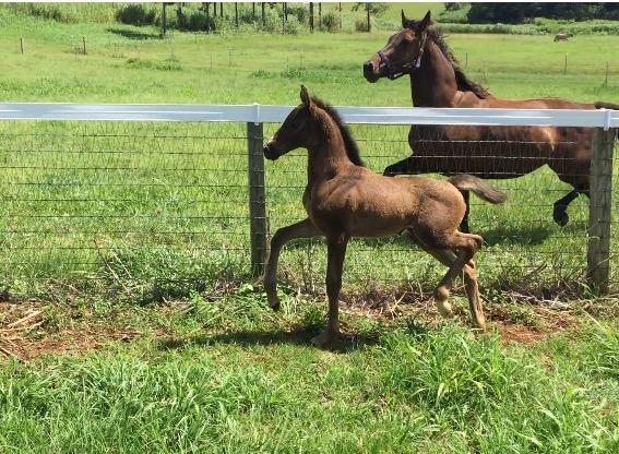 International Quality Filly 007/Imported KWPN Mare