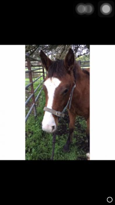 Clydesdale x Quarter horse