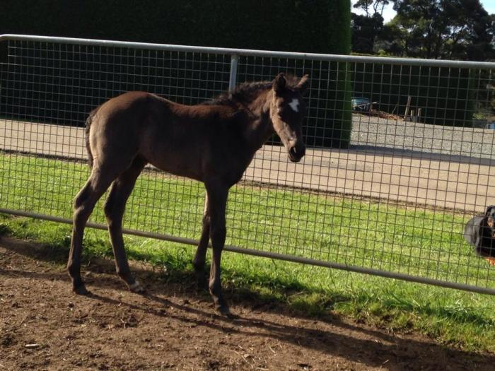 Solid black paint weanling filly