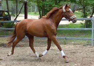 Carlton Classic - Registered Irish Sport Horse
