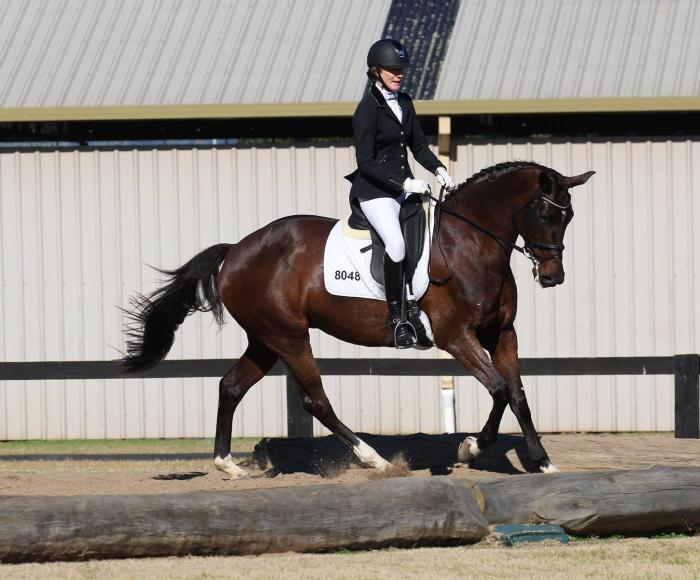 Quality Warmblood Mare