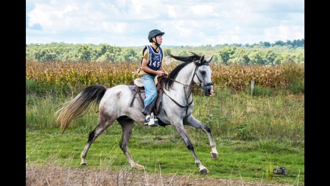 Anglo Grey Gelding 15'2