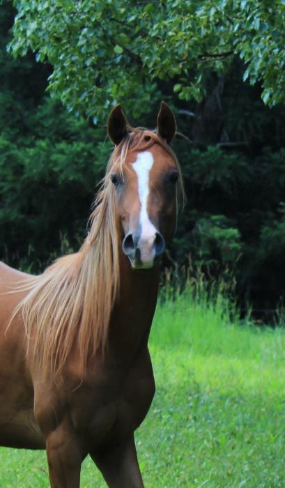 Stunning Purbred Arabian