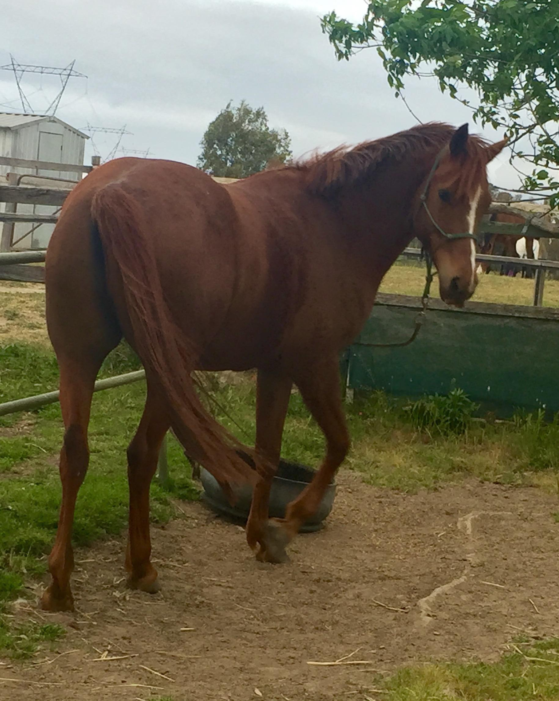 Anglo gelding 6yo 16hh