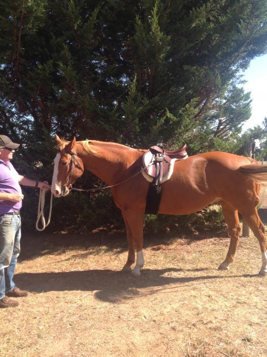 Lovely Quarter horse / paint gelding, 7yrs, 15.3,