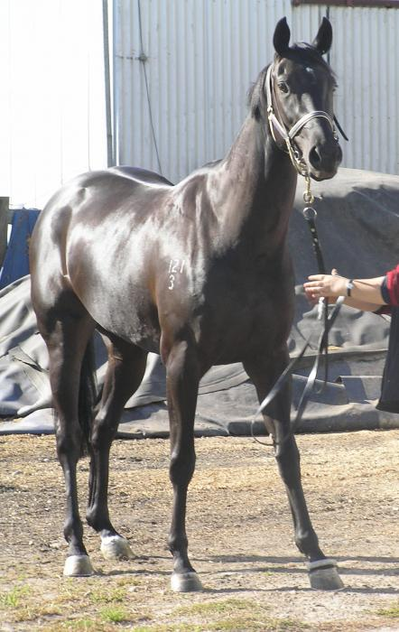 Lovely Jet Black 16.1hh Thoroughbred Mare 10 yo