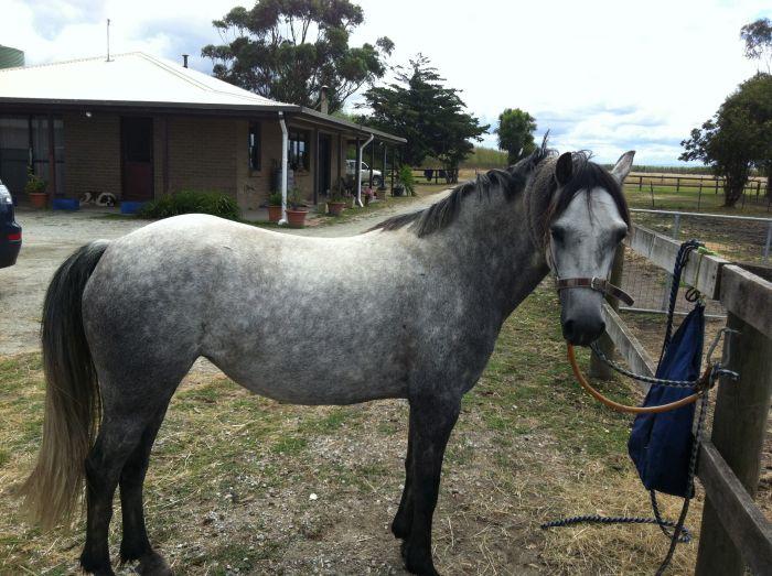 Beautiful welsh b mare, dutton lea utopia