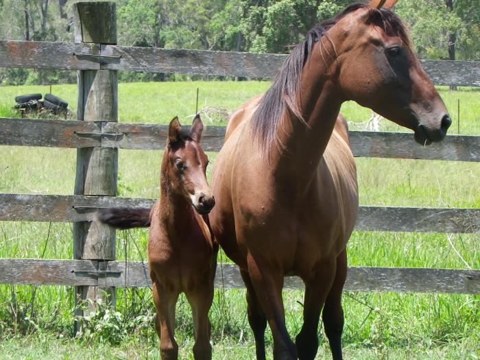 """ASH """"Handy' brood mare and foal"""