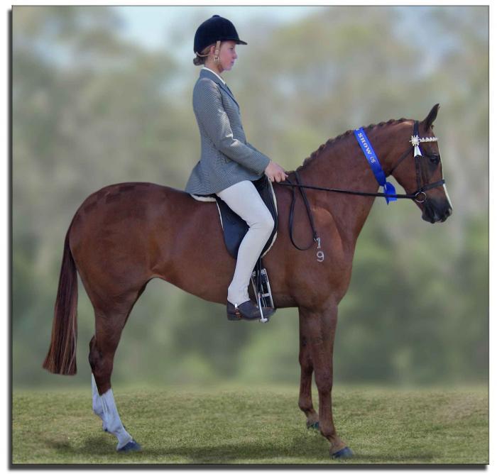 Galloway Riding Pony-Quiet Show Hunter/broodmare