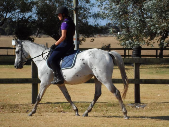 Pretty Appaloosa x Arab x QH Mare Quiet and Sound