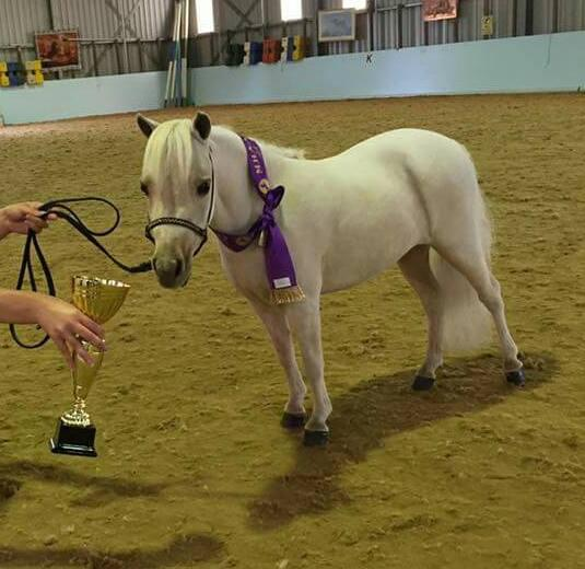 Tiny palomino miniature horse filly