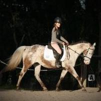 Special All-rounder: Spice 15hh 8yo Appaloosa Mare