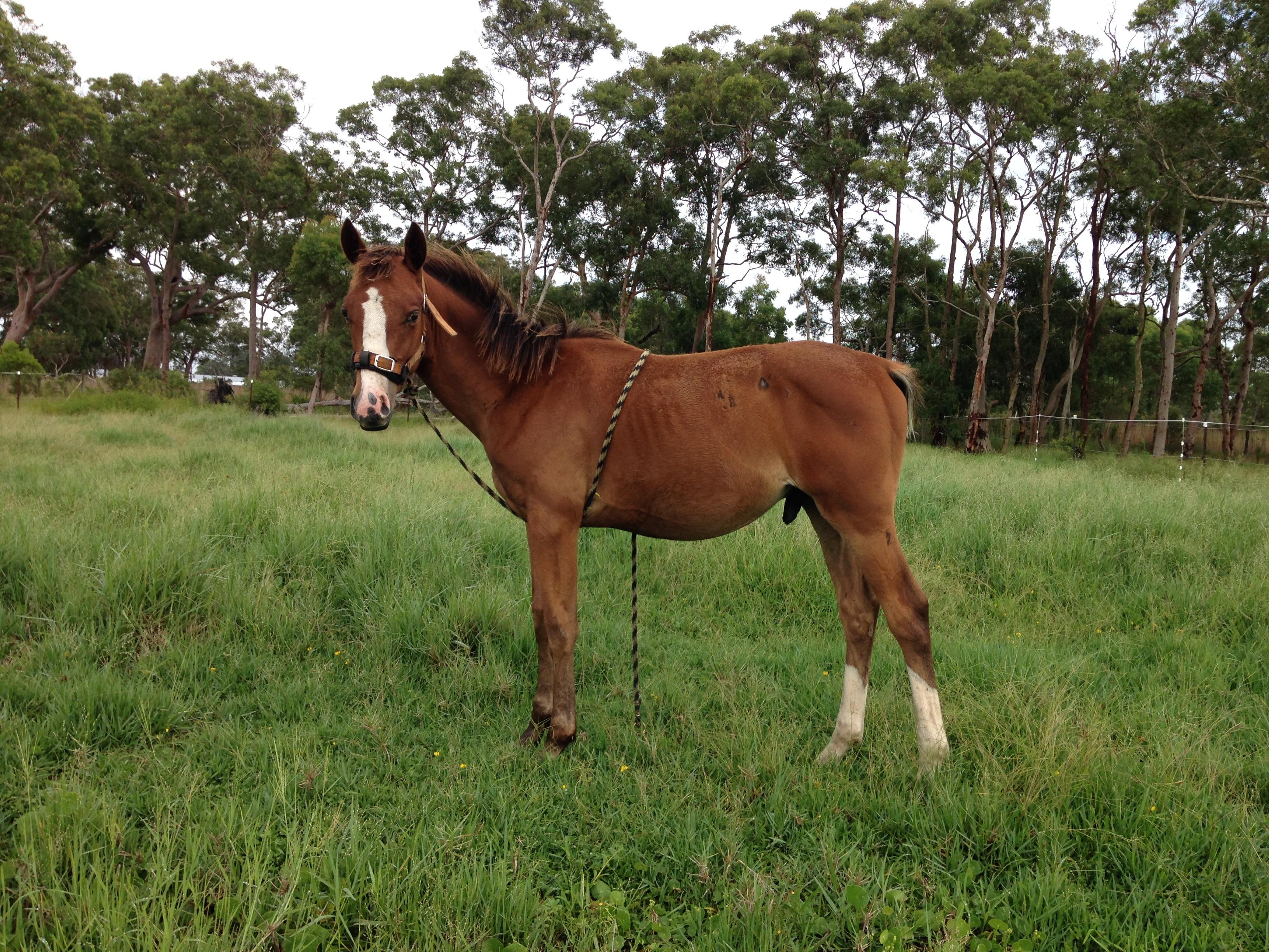 Attractive stock horse weanling colt