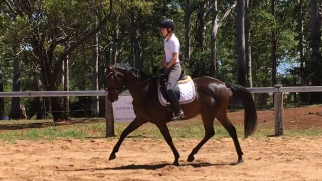 3yr WB Premium ACE Mare BROKEN IN AND QUIET