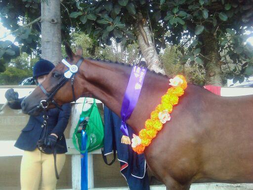 Stunning riding pony mare