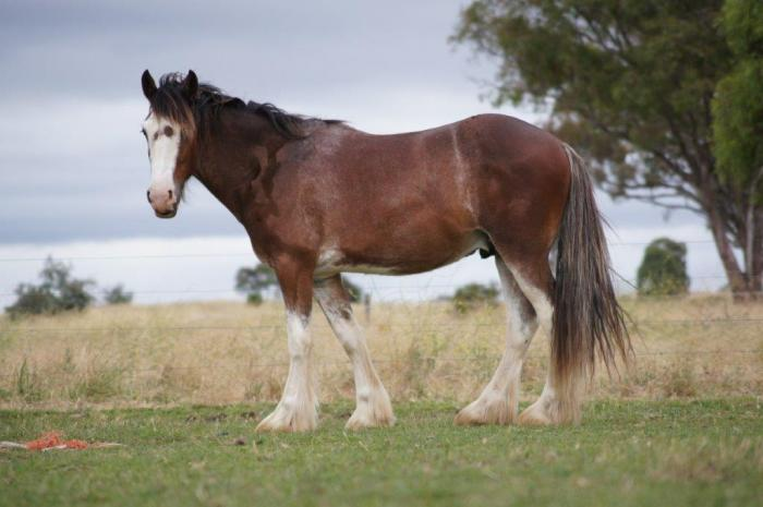 Beautiful Clydesdale Gelding