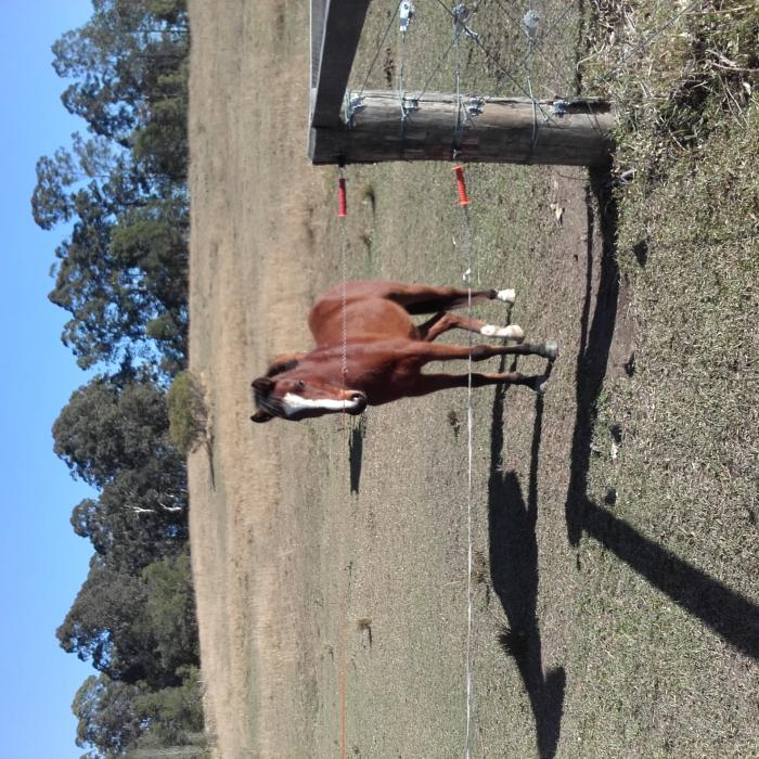 Young Riding Pony Gelding
