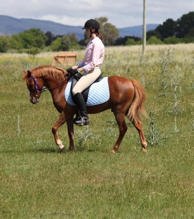 """Dickens"" 12.2H 3YO Welsh Riding Pony (Gelding"