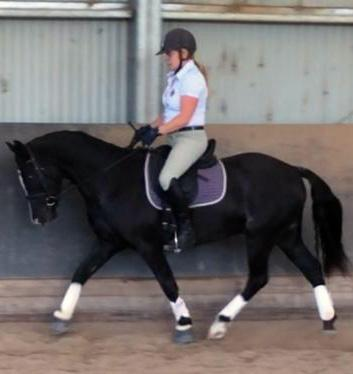 Quality Young Dressage Pony - 14hh part Welsh