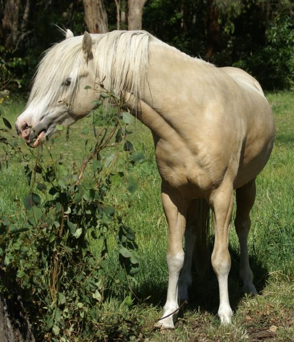 Welsh B/ Arabian Pony Colt