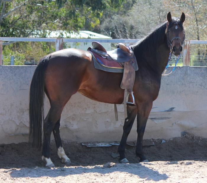 Fuerstenreich Filly Dressage/Young horse prospect