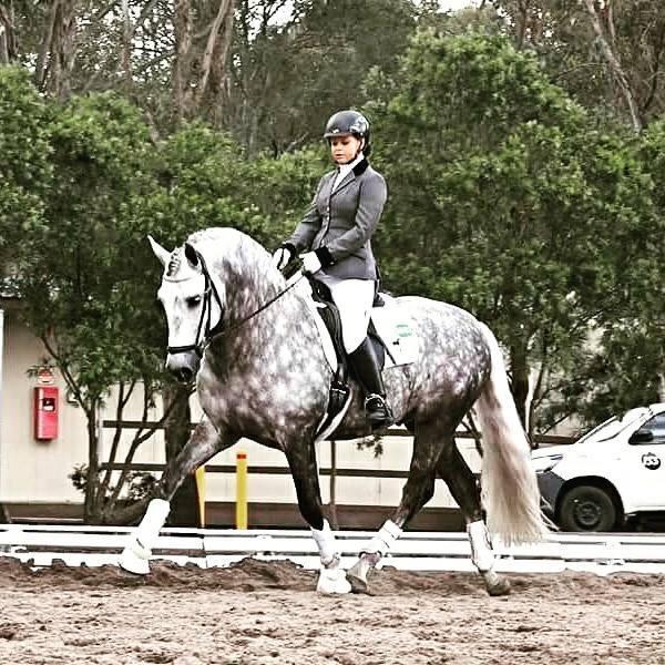 Imported PRE Spanish FEI Dressage Stallion
