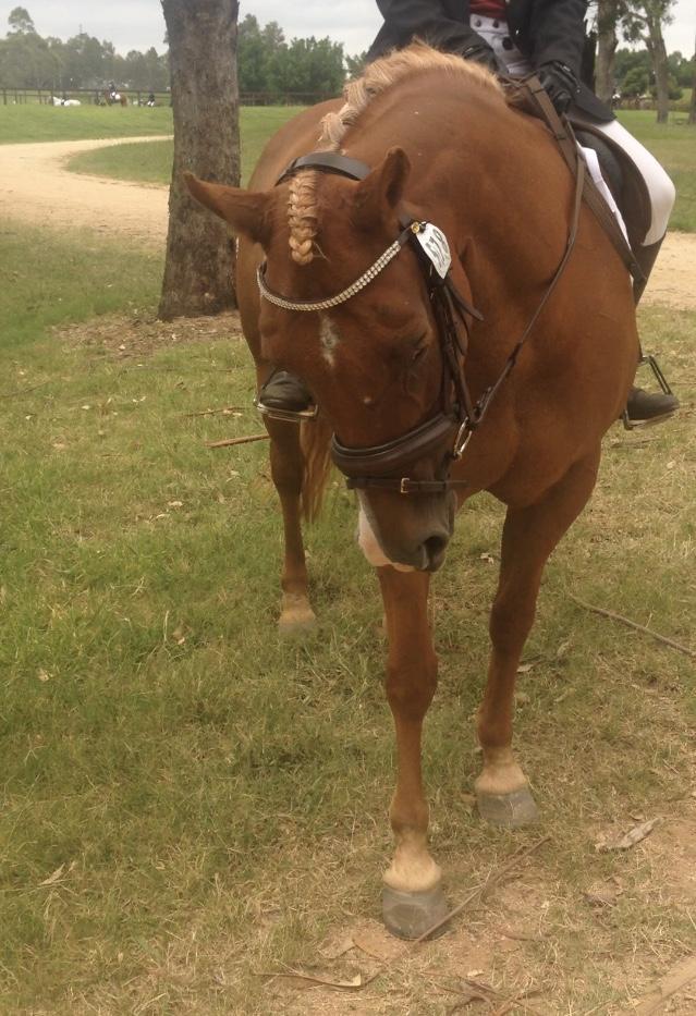 Sweet, Safe, Quarter Horse Mare