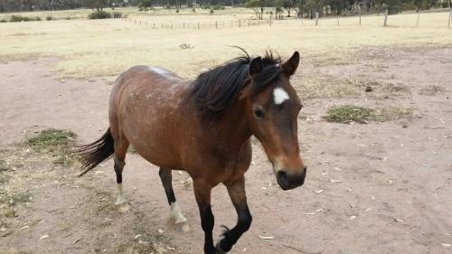 Beginners Pony WelshA