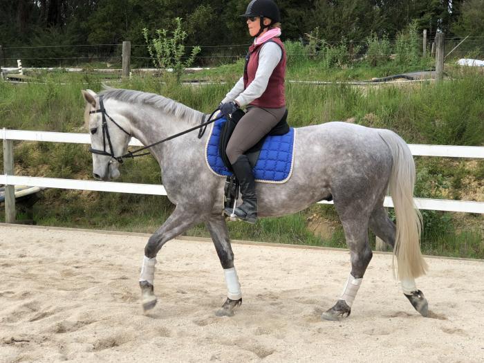 Warmblood x Irish Sport Horse 4 year old Gelding