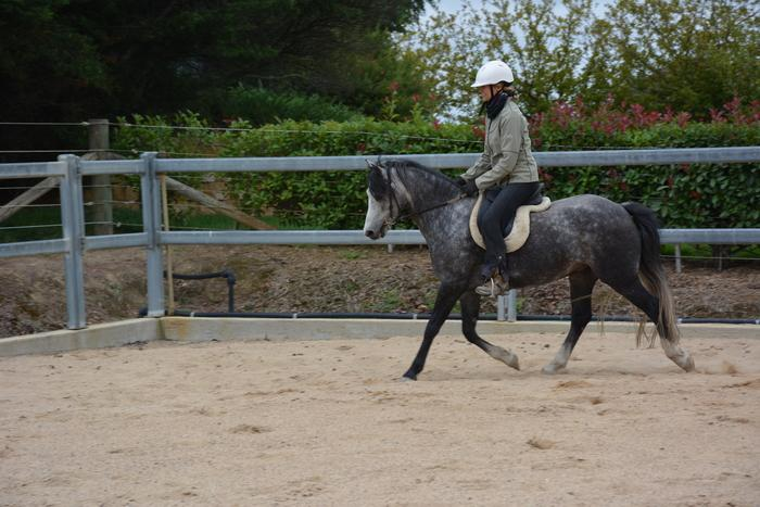 Lovely Grey Welsh pony. Urgent sale.