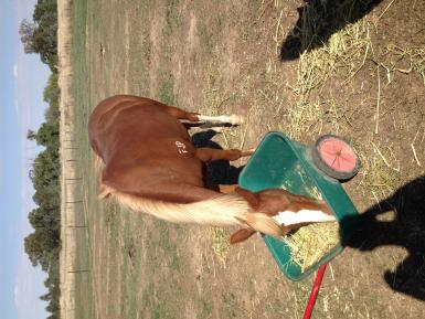 20 March 2014 Just in paddock helping herself to hay trolley