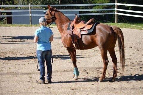 Stunning purebred Arabian mare