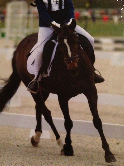 Australian Stockhorse X 13.1H ALLROUNDER