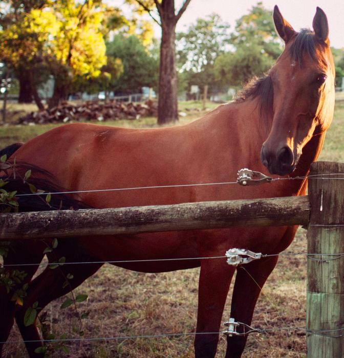 Reliable experienced Arabian gelding